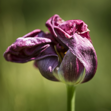 wilting: Beautiful selective focus macro image of decaying wilted tulip flower at the end of Spring Stock Photo