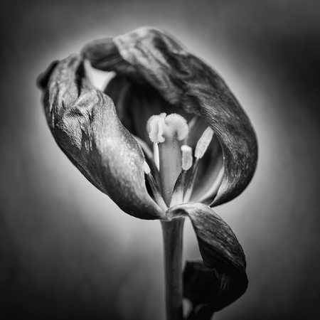 Beautiful selective focus macro image of decaying wilted tulip flower at the end of Spring Stock Photo
