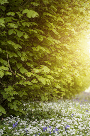 shallow: Beautiful conceptual fresh Spring landscape image of bluebell and wild garlic in forest in bright glowing sunlight