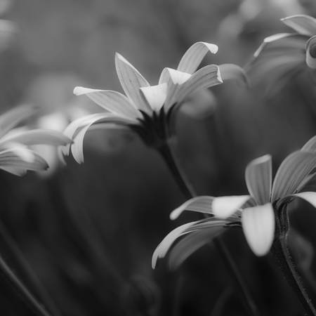 osteospermum: Stunning artistic image of African Daisy with shallow depth of field macro in black and white Stock Photo