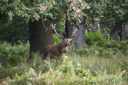 雄大なレッド ・ ディア マンネリ期秋秋の森林景観の Cervus の Elaphus スタッグします。