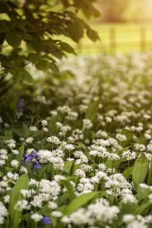 Beautiful conceptual fresh Spring landscape image of bluebell and wild garlic in forest in bright glowing sunlight