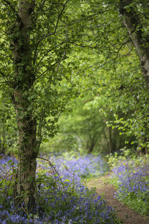 Shallow depth of field landscape of bluebell woods in Spring