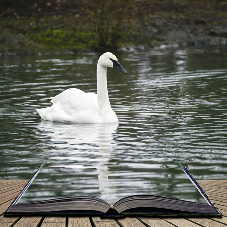 Portrait of Trumpeter Swan Cygnus Buccinator on water in Spring concept coming out of pages in open book Stock Photo