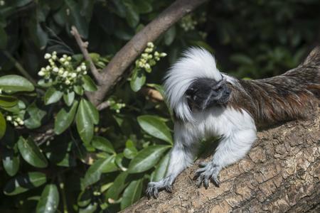 Beautiful Cotton Top Tamarin Saguinus Oedipus lain on tree branch in sunlight