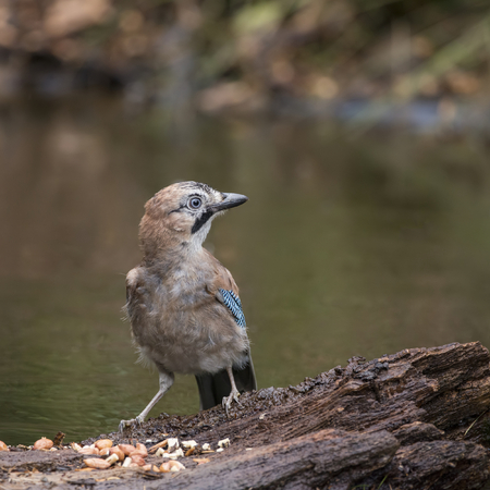 Beautiful Jay bird Garrulus Glandarius on tree stump in woodland landscape setting