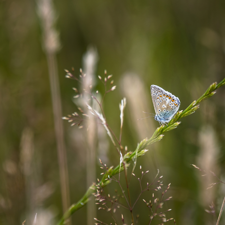 Beautiful Common Blue Butterfly Polyommatus Icarus on grass stem in Summer meadow