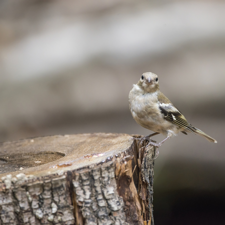 Juvenile female Chaffinch on tree stump in woodland landscape