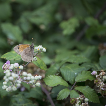 Gatekeeper Butterfly Pyronia Tithonus on flower buds in Summer Stock Photo