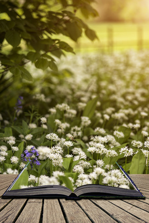 Beautiful conceptual fresh Spring landscape image of bluebell and wild garlic in forest in bright glowing sunlight concept coming out of pages in open book Stock Photo