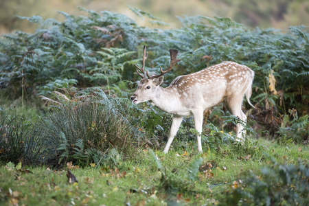 Fallow deer stag in Autumn Fall forest landscape image