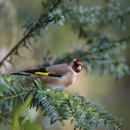 Beautiful portrait of Goldfinch Carduelis Carduelis sitting in sunshine on branch of tree in woodland