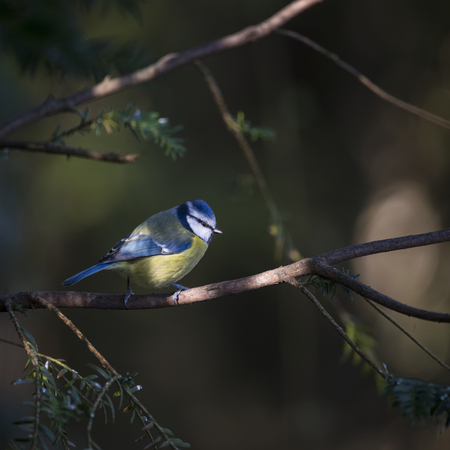 Beautiful portrait of Blue Tit Cyanistes Caeruleus bird sitting in sunshine in forest landscape Foto de archivo - 96245611
