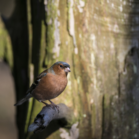 Beautiful portrait of male Chaffinch Fringilla Coelebs sitting in sunshine on branch of tree in forest Stock Photo
