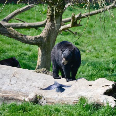 American Black Bear Ursus Americanus in lush forest landscape setting Stock Photo