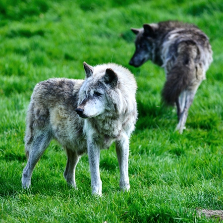 Beautiful grey Timber Wolf Cnis Lupus stalking and eating in forest clearing landscape setting