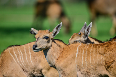 Young Eland Antelope animal Taurotragus Oryx in Summer Stock Photo