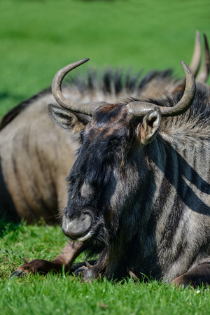 Portrait of Common Wildebeest Connochaetes Alcelaphine Bovidae laying in Summer sun