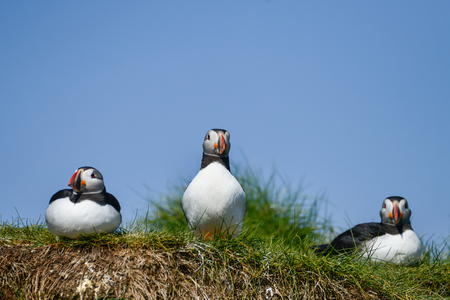 Beautiful Atlantic Puffin or Comon Puffin Fratercula Arctica in Northumberland England on bright Spring day