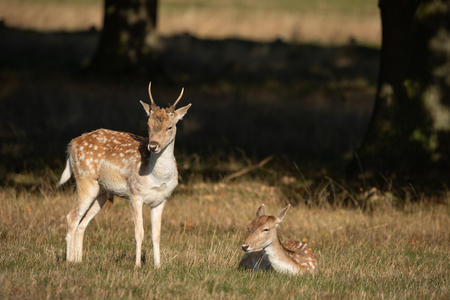 Beautiful image of Fallow Deer Dama Dama in Autumn field and woodland landscape setting Stock Photo
