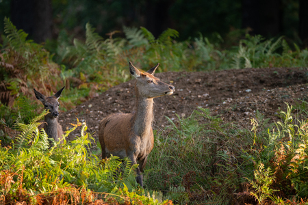 Beautiful portrait of red deer hind in colorful Autumn forest landscape