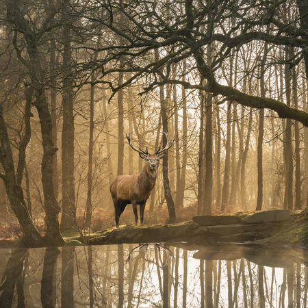 Stunning landscape image of still stream in Lake District forest with beautiful mature Red Deer Stag Cervus Elaphus among trees 版權商用圖片