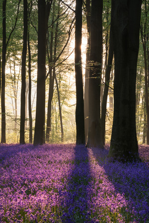 Beautiful bluebell forest landscape image in morning sunlight in Spring 스톡 콘텐츠