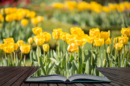 Beautiful colorful yellow tulips in landscape country garden coming out of pages of open story book 写真素材