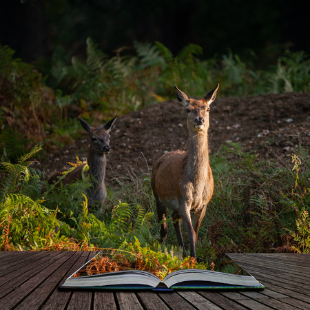 Beautiful portrait of red deer hind in colorful Autumn forest landscape coming out of pages in magical story book