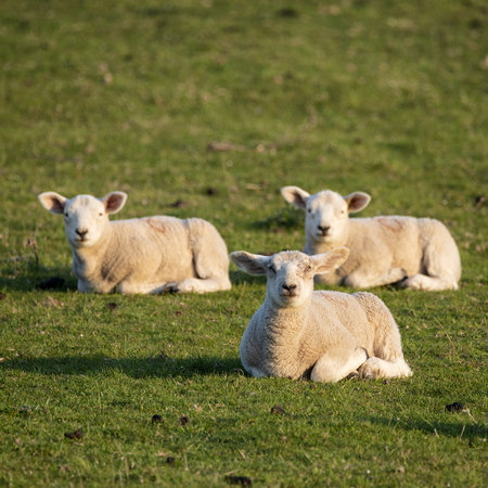 Beautiful young Spring lambs in early morning sunshine in English countryside