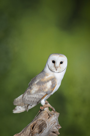 Beautiful portrait of Snowy Owl Bubo Scandiacus in studio setting with mottled green nature background