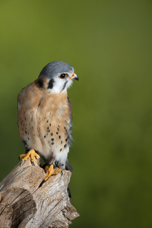 Beautiful portrait of American Kestrel Falconidae in studio setting with mottled green nature background
