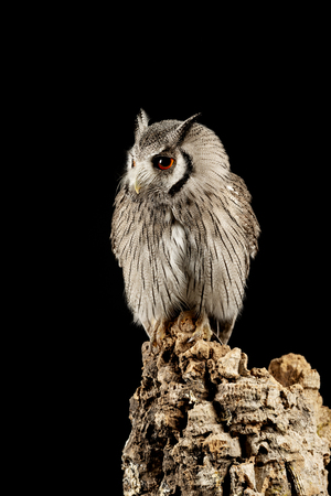 Beautiful portrait of Southern White Faced Owl Ptilopsis Granti in studio setting on black background with dramatic lighting Imagens