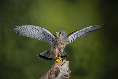 Beau portrait de Kestrel Falco Tinnunculus en studio sur fond de nature verte tachetée