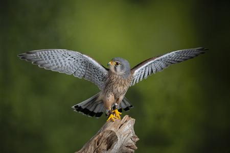 Piękny portret Pustułki Falco Tinnunculus w otoczeniu studyjnym na cętkowanym zielonym tle przyrody