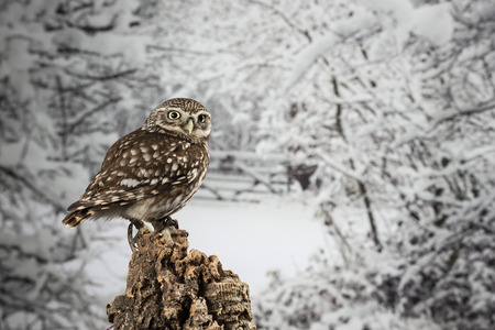 Beautiful portrait of Little Owl Athena Noctua in studio setting with Winter nature background