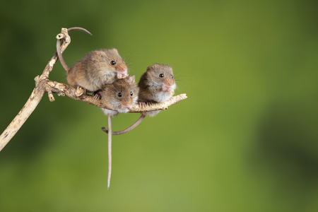 Cute harvest mice micromys minutus on wooden stick with neutral green background in nature Imagens