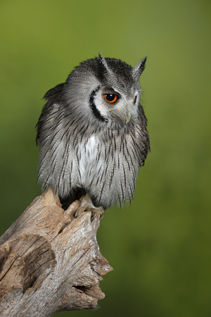 Beautiful portrait of Southern White Faced Owl Ptilopsis Granti in studio setting with green nature background