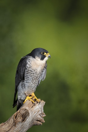 Beautiful portrait of Peregrine Falcon Falco Peregrinus in studio setting on green nature background