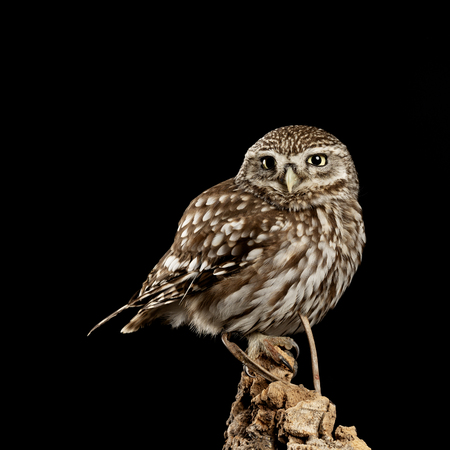 Beautiful portrait of Little Owl Athena Noctua in studio setting with black background and dramatic lighting 免版税图像