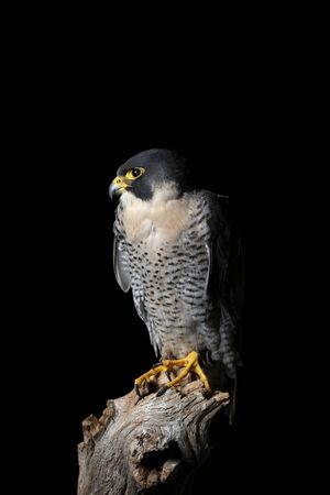 Beautiful portrait of Peregrine Falcon Falco Peregrinus in studio setting with dramatic lighting on black background Фото со стока