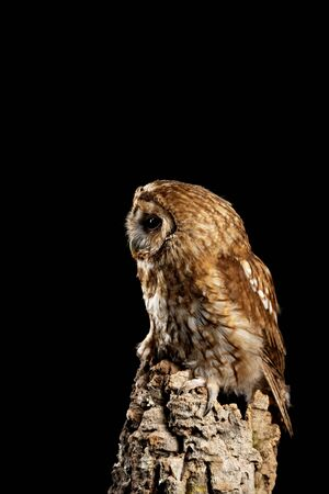 Beautiful portrait of Tawny Owl Strix Aluco isolated on black in studio setting