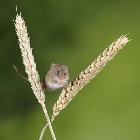 Cute harvest mice micromys minutus on wheat stalk with neutral green nature background