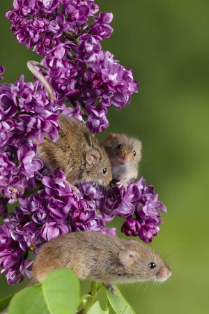 Cute harvest mice micromys minutus on pink flower foliage with neutral green nature background