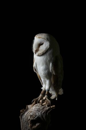 Beautiful portrait of Snowy Owl Bubo Scandiacus in studio setting isolated on black background with dramatic lighting