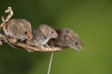 Cute harvest mice micromys minutus on wooden stick with neutral green background in nature Standard-Bild - 127667999