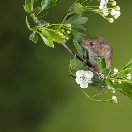 Cute harvest mice micromys minutus on white flower foliage with neutral green nature background Standard-Bild - 127668160