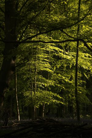 Stunning landscape image of forest of beech trees with dappled sunlight creating spotlights on the trees in the dense woodland