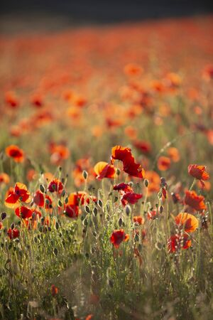 Beautiful Summer landscape of poppy field in English countryside during late evening sunset