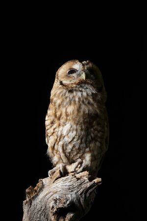 Beautiful portrait of Tawny Owl Strix Aluco isolated on black in studio setting with dramatic lighting